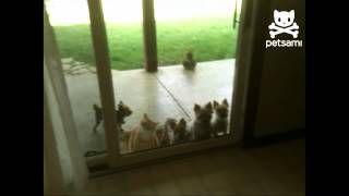 Smart Kitty Opens Door for Puppies