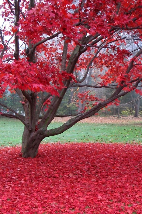 red maple tree photo