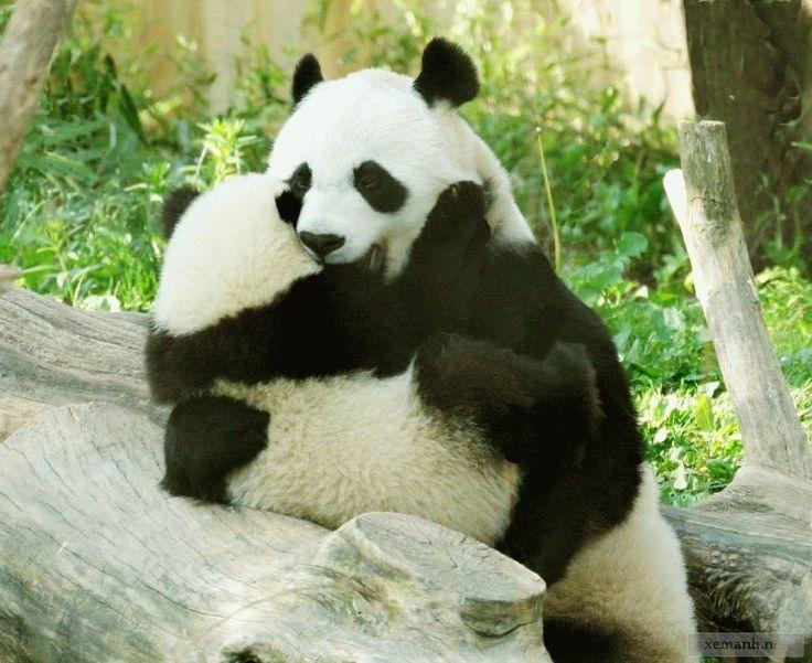 Панда хочет любви