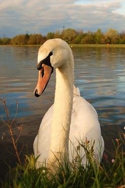 "Mute Swan - my favorite animal. The name comes from them rarely ever ""speaking"""