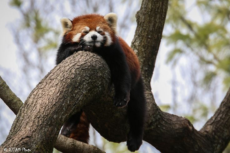 https://flic.kr/p/EkjBer | Cincinnati Zoo 3-12-16-5300 | Red Panda (I believe Dr. Erin Curry)