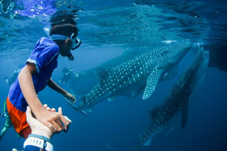 Free-diving with the whale sharks of Papua - Matador Network