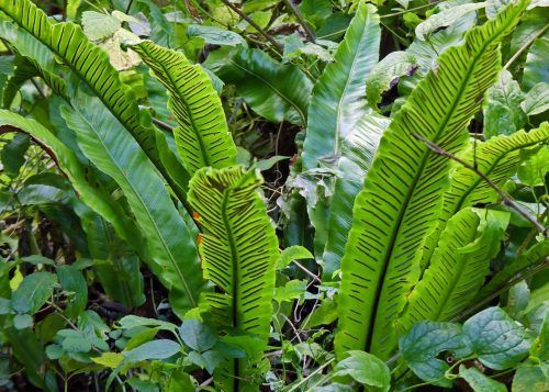 hart's tongue fern | everyday nature trails