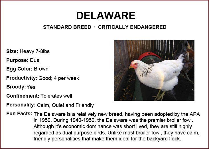 Chicken Breeds - Delaware