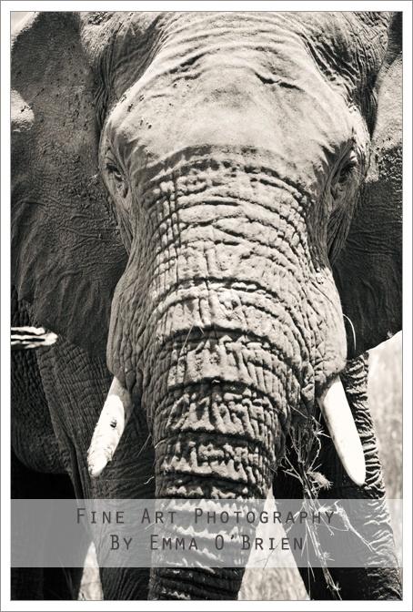 Elephant at Pilanesberg National Park http://emmaobrien.com