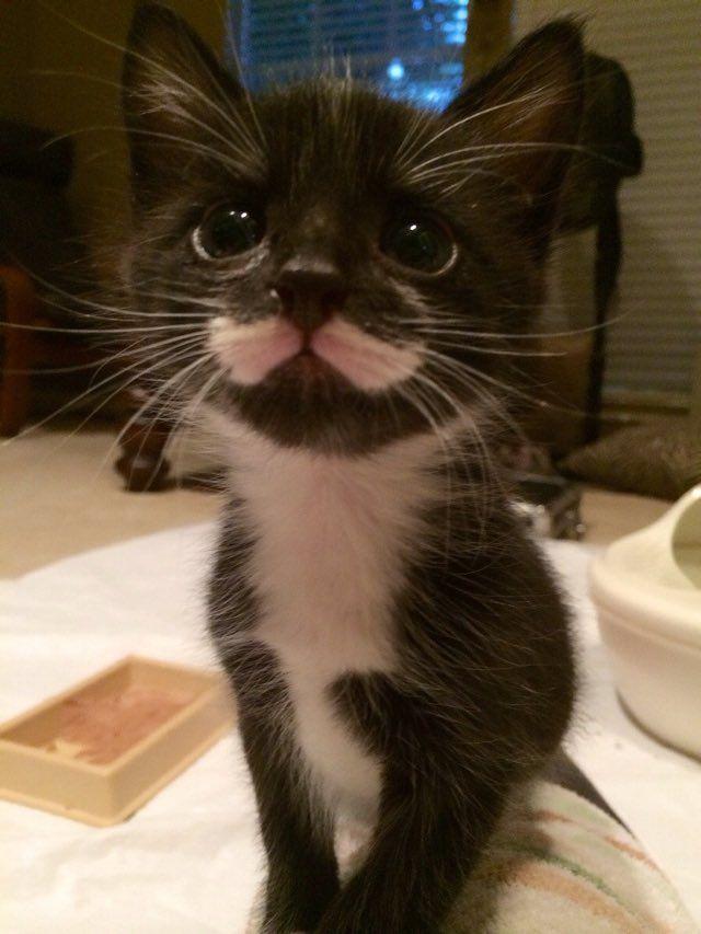foster kitten with mustache