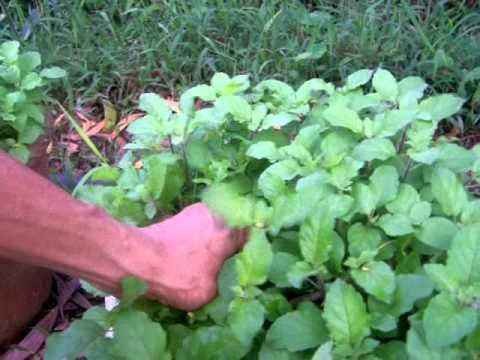 EZ Way! How to Harvest Holy basil/Tulsi (Ocimum tenuiflorum)seeds and to grow them. - YouTube