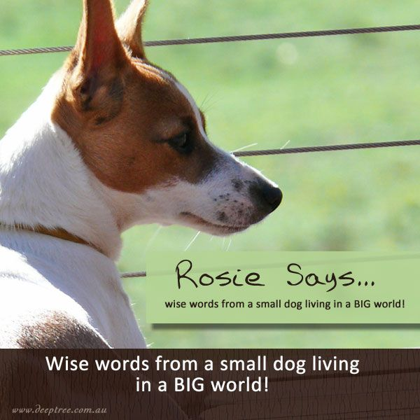 Rosie is a Mini-Foxy x Jack Russell who lives life with incredible gusto! Her enthusiastic outlook on life is an inspiration. She's a little dog with a BIG heart! #Rosie #dog #widsom #deeptreelifecoaching