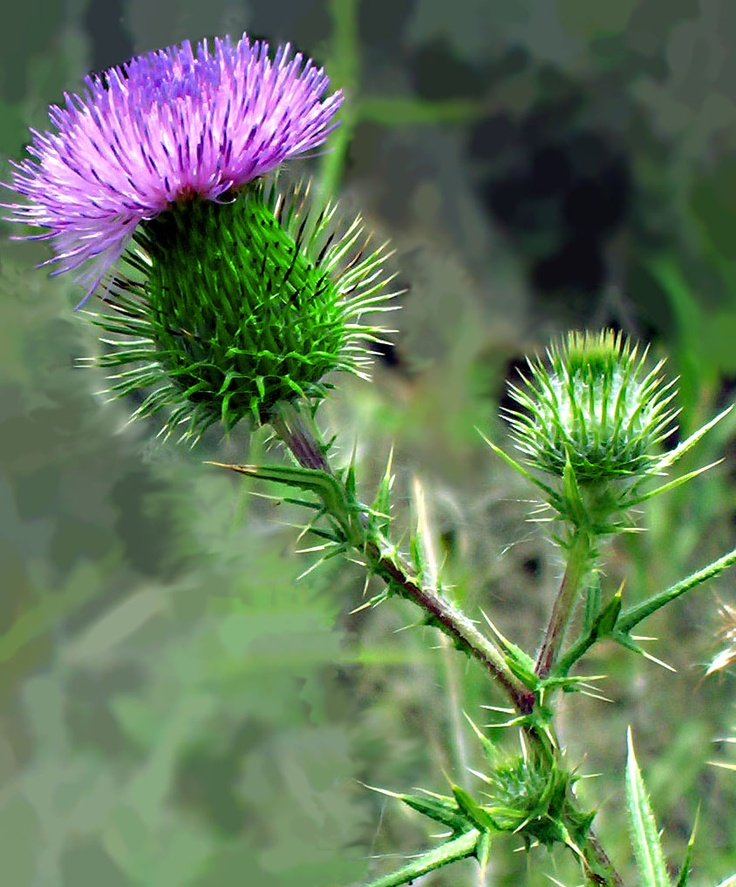 Thistle...Misanthropy: dislike or hatred of other people or society.