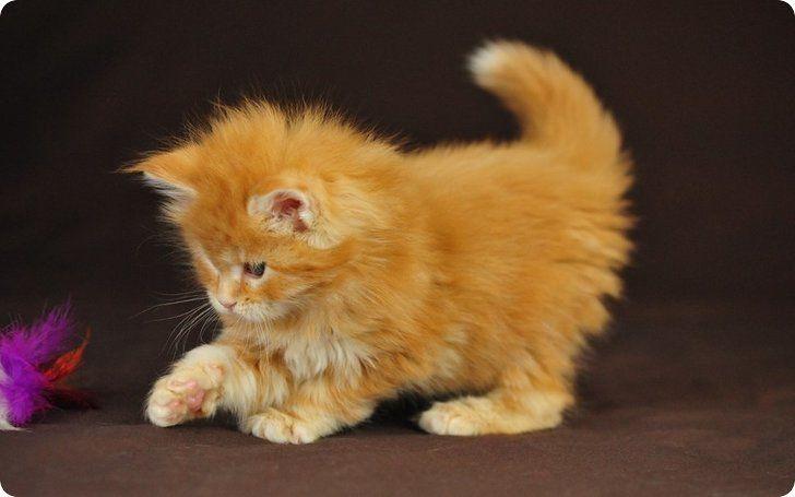 chaton roux jouant
