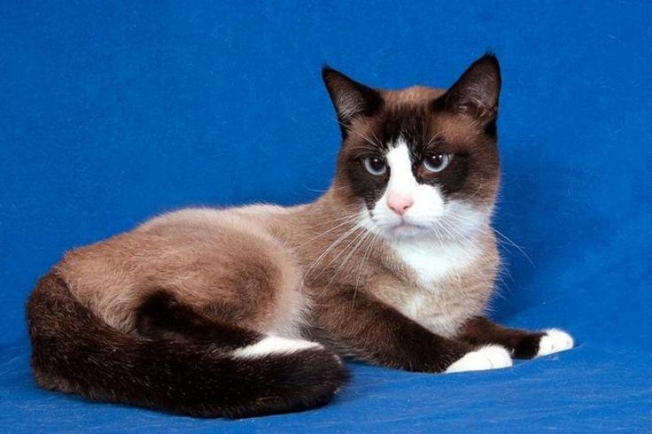 Snowshoe Siamese Cat Cats I Love Pinterest Cats