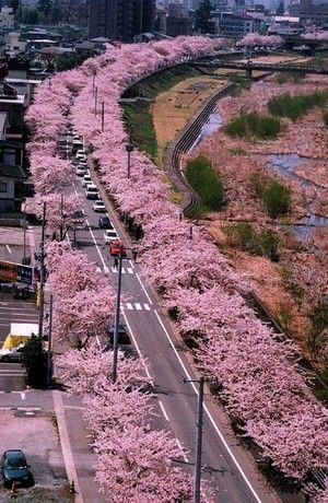 Yamagata JAPAN cherry blossom beauty