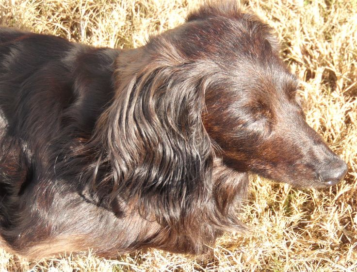 Hi I'm Rascal ! Santa says you would #love to have a #longhaired #sweet #senior #dachshund boy who #loves to #play! I told Santa that I'm your boy ! Just get my #adoption papers filled out and I'll get my toys packed !