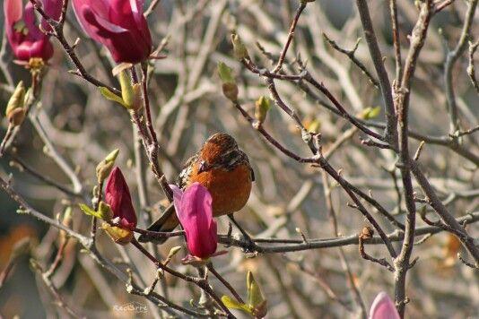 Rara Macho Santiago, Chile #bird #birdwatching
