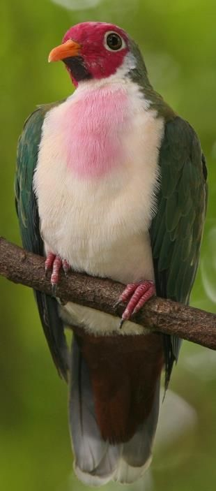 The jambu fruit dove is a smallish colourful fruit dove. It is a resident breeding species in southern Thailand, Malaysia, Brunei and the Indonesian islands of Kalimantan, Sumatra and Java.