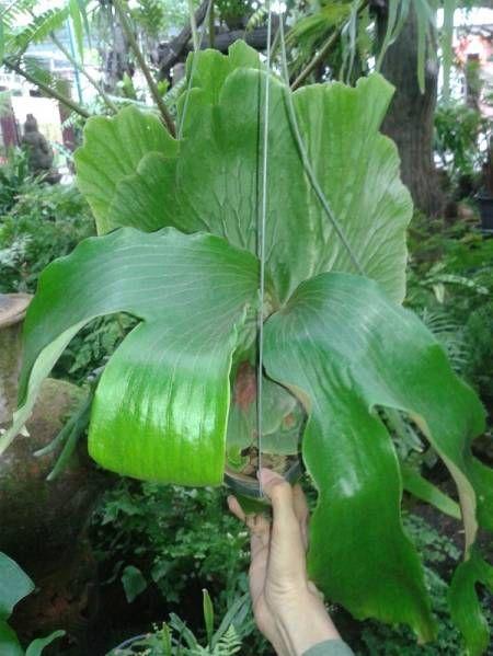 Platycerium Budsaba