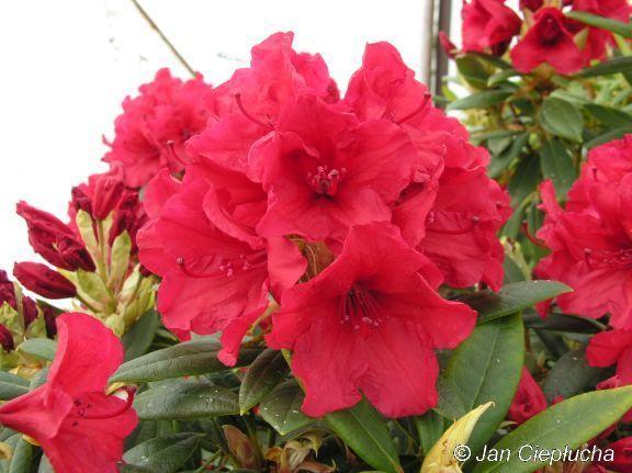 Vulcan Średnio silnie rosnąca odmiana o jaskrawo czerwonych, lekko fryzowanych kwiatach. Tak wyrazista barwa widoczna jest z daleka i wyróżnia te odmianę na tle innych o czerwonych kwiatach -26