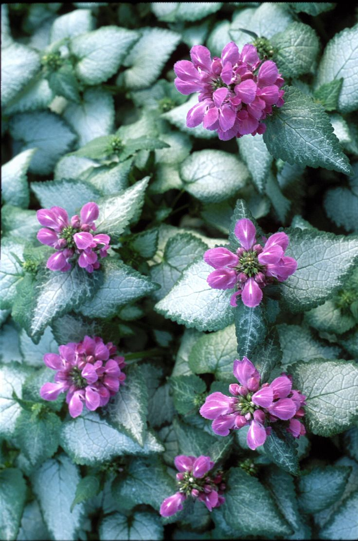 How to plant ground cover for shady areas - Lamium Purple Dragon Full Shade Fast Spreading Have It Ground Cover Shadeground Cover Plantsshade