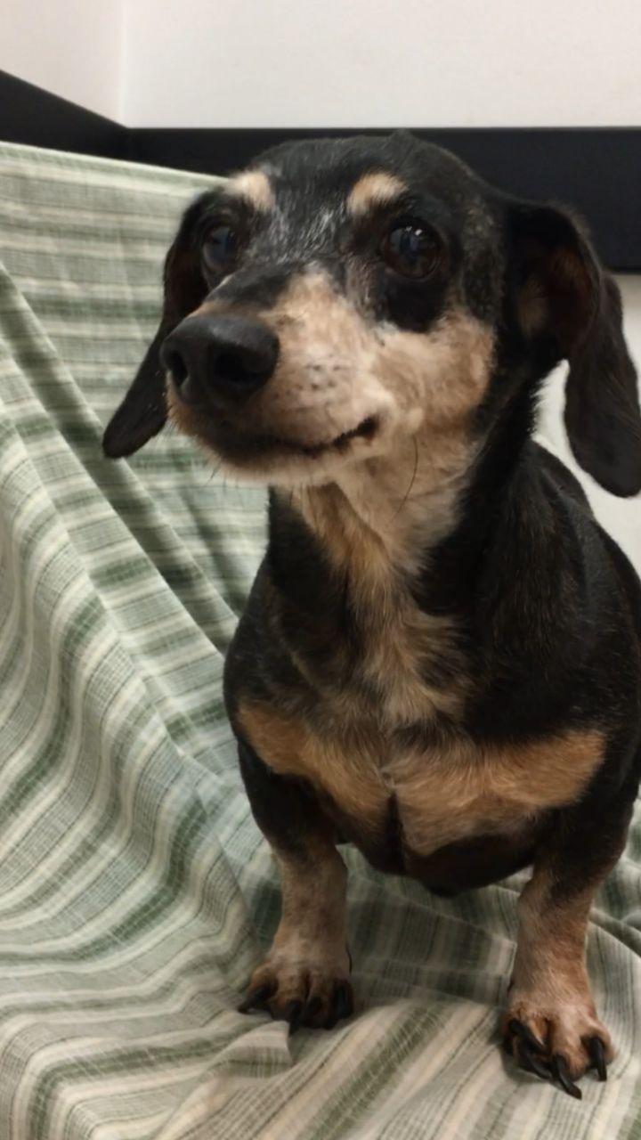 Adopt Mr Moose On With Images Dog Adoption Dachshund Rescue Dachshund Dog