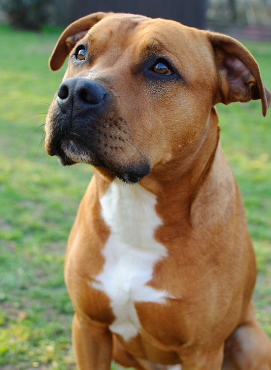 American Pit Bull Terrier | American Pit Bull Terrier | Dog | Being, education and characteristics