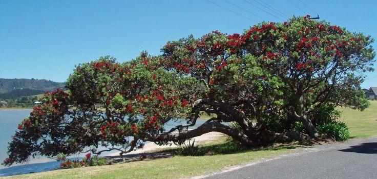 Pohutukawa in flower (NZ Xmas Tree)
