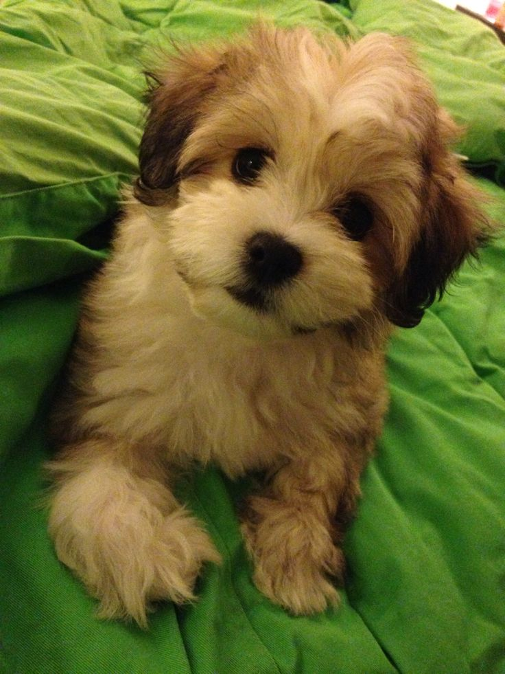 Our 10 week old LaChon (Lhasa ApsoBichon Frise Mix) Koko