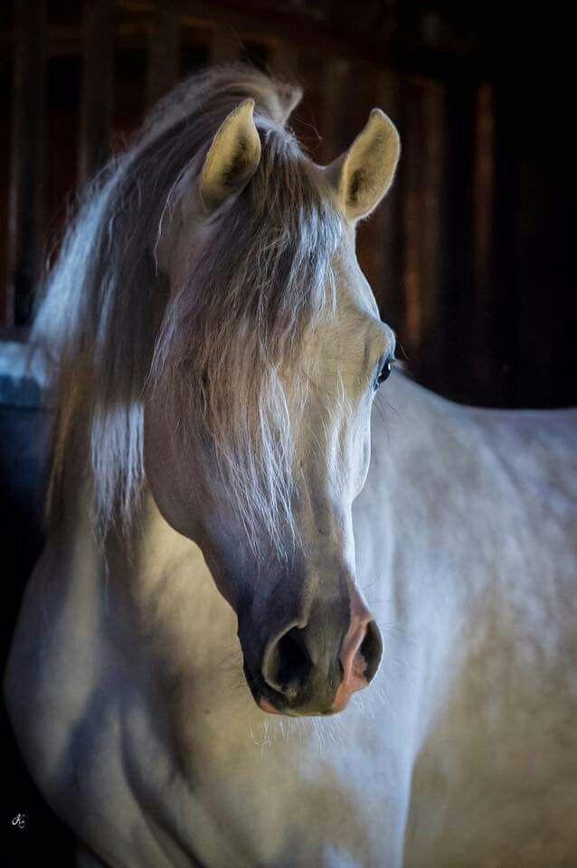 Gorgeous Light Gray Arabian.                                                                                                                                                                                 Mehr