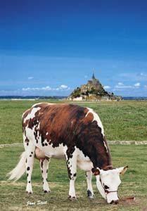 vaches normandes photos | Races de vaches laitières