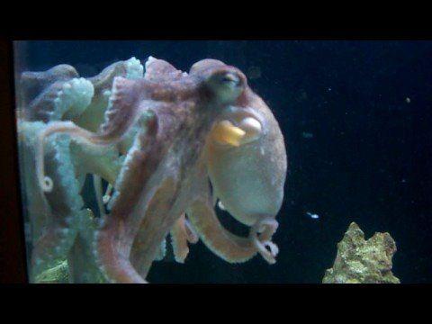 Octopus in saltwater tank