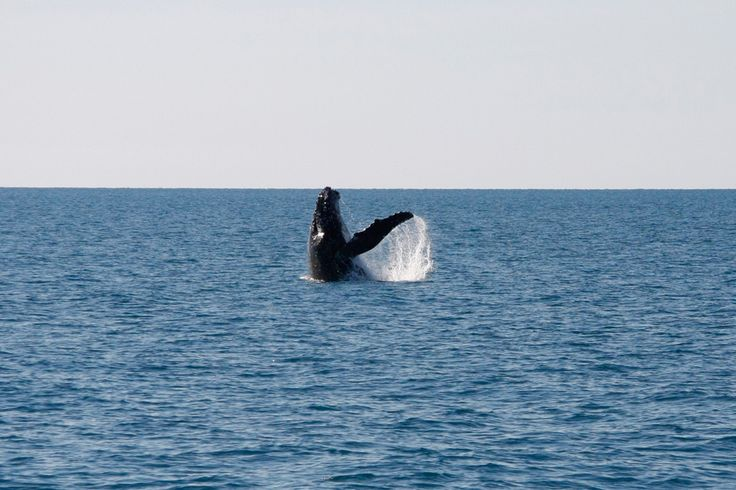 A breaching humpback in the warm waters of Hervey Bay