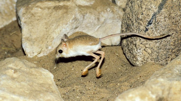 Facts about the desert Jerboa (Jaculus jaculus)