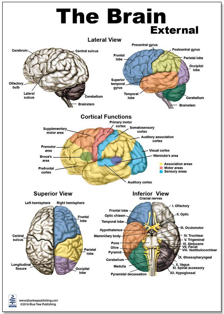 Brain External Regular Poster | Human brain diagram, Brain ...