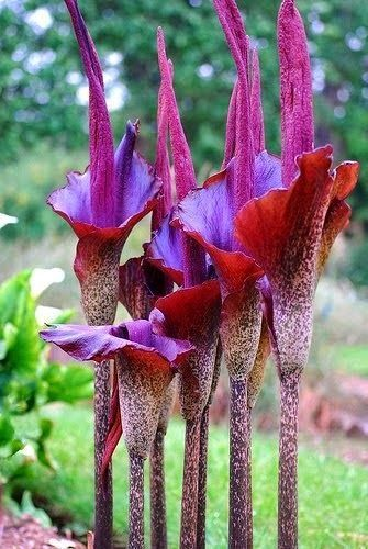 Voodoo Lily Beautiful gorgeous pretty flowers