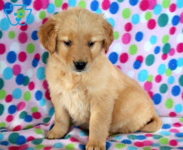 Dodger Retriever Puppy Puppies Puppies For Sale