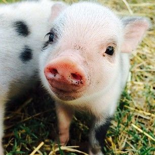 This baby pig making the world a cuter place with each oink. | 31 Pictures Of Baby Animals To Remind You The World Is Wonderful