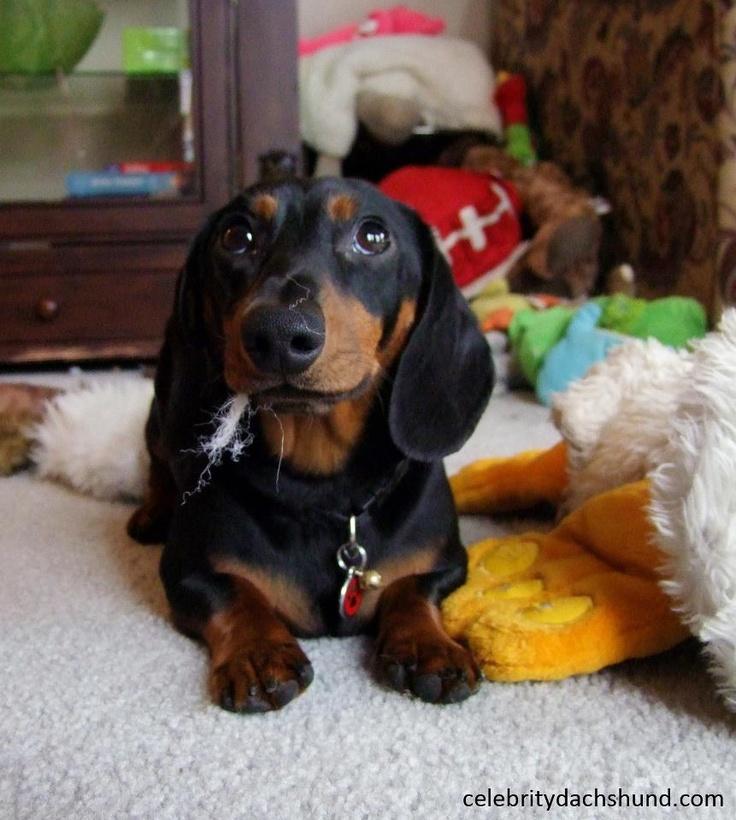 Hello...Crusoe, Oakleywhat, Dachsie Dogs, Doxie, Celebrities Dachshund, Dogs Dachshund, Dachshund Cutie, Oakley What, Box Pies