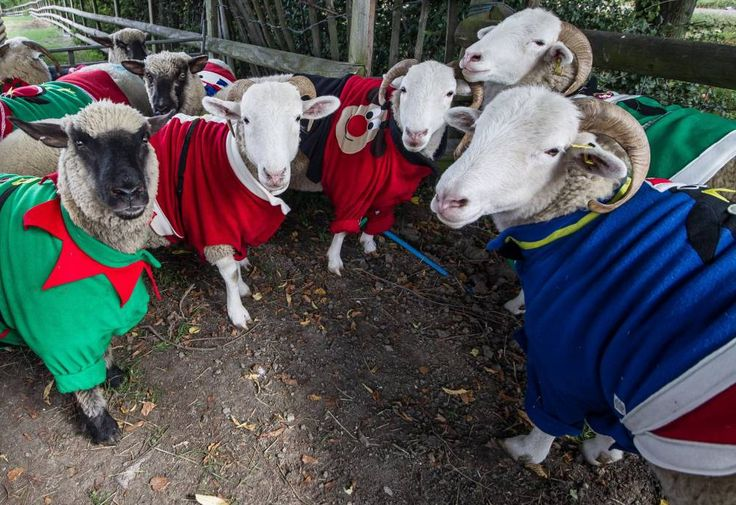 CREDIT: Save The Children/Rex.. Mandatory Credit: Photo by Save The Children/REX (3039491f).. Sheep model jumpers made especially for them.. Sheep wear jumpers ahead of Save the Children's Christmas Jumper Day, Mudchute Farm, London, Britain - 26 Sep 2013.. ..