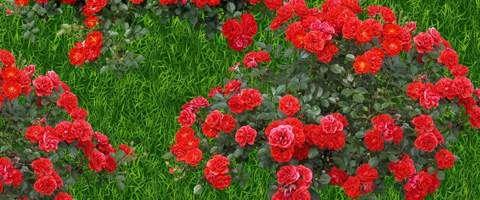 Rozmnażanie róż przez sadzonkowanie, okulizacja, z nasion Rozmnażanie róż, okulizacja róż, szczepienie róż, ukorzeniacz – porady o różach