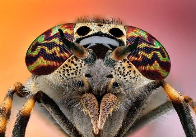 Hoverfly: Eristalinus aeneus