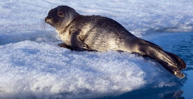 Give Ringed Seals the Home They Need. Urge the National Marine Fisheries Service to protect ringed seals.