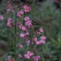 Erysimum 'Bowles' Mauve' (Muurbloem), Deze mooie rotsplanten bloeien van vroeg in het voorjaar tot in het najaar en houden van een droge, zonnige en voedzame plaats. Een goede snijbloem.    De bloeikleur is lichtpaars, de bloeitijd maart-oktober. Hoogte: 75 cm.