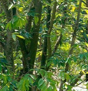 Biblical plants and trees 3 - Aloe/ Agar tree - Yvonne Ostman