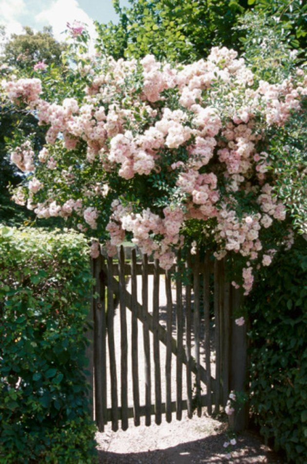 What Trellis Plant Is Not Poisonous To Dogs Hunker Dogs Hunker Plant Poisonous Trellis In 2020 Rose Cuttings Trellis Plants Climbing Roses
