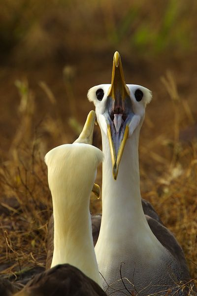 Waved Albatross, by Tim Laman. Audubon Magazine. I want to see them so bad and they have an awesome courtship display :)