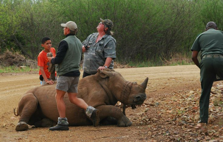 The second rhino that was darted was a young male, probably about +- 2 years old.