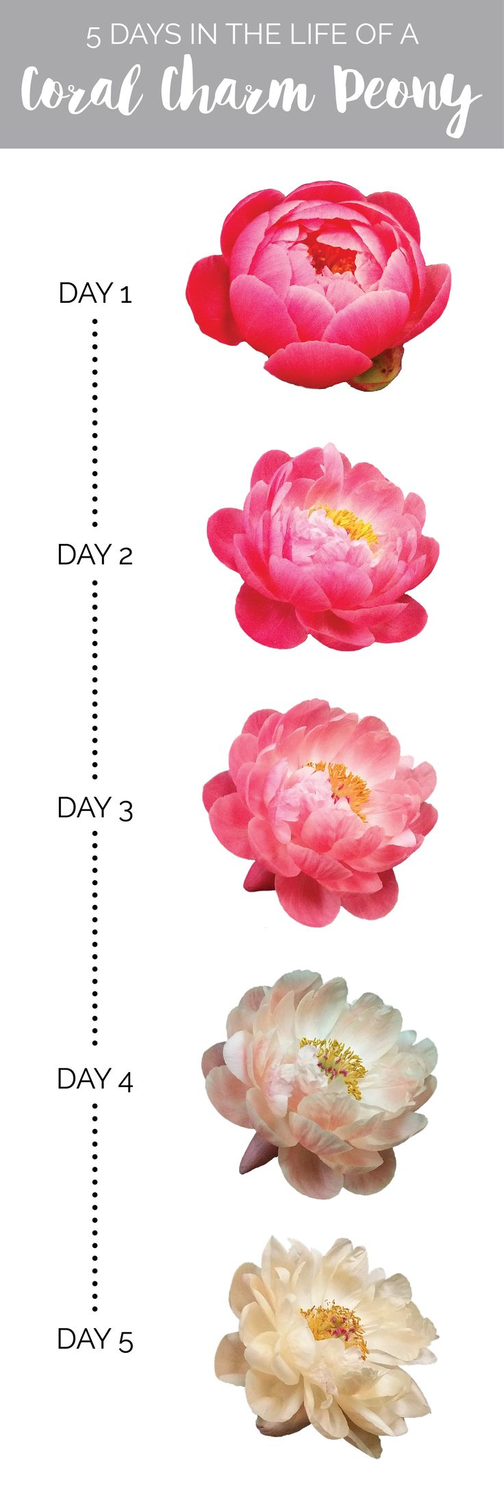 Blog of Mayesh Wholesale Florist - The Life of a Coral Charm Peony - 5 days in the life of a coral charm peony; peonies