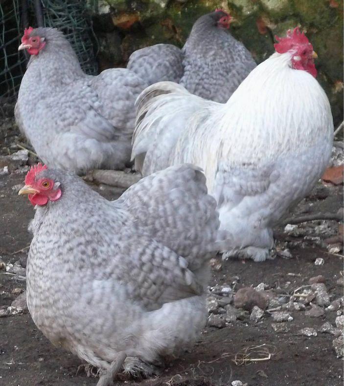 Norfolk Garden Chickens - Pekin Bantams (lavender cuckoo) #goals