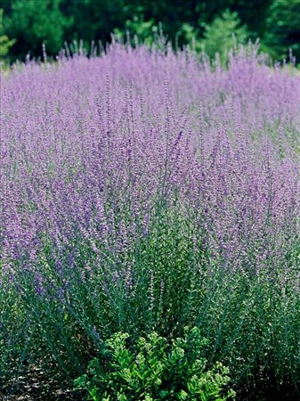 Russian Sage - an all-time fave with an amazing fragrance