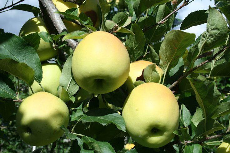 50 best images about cura delle piante e del giardino on for Potatura del melo