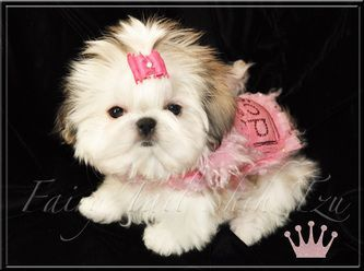 Gallery - Fairy Tail Shih Tzu-Tiny Teacup Imperial Shihtzu Puppies for Sale